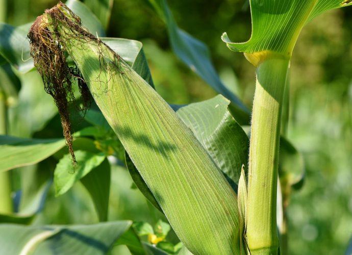 Kiszonka z kukurydzy doskonałą karmą dla bydła