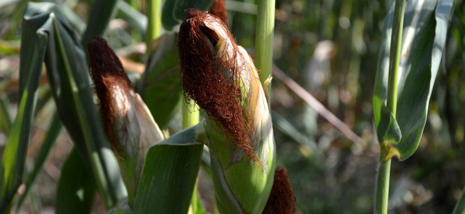 Kiszonka z kukurydzy: czy warto skorzystać z pomocy fachowców?